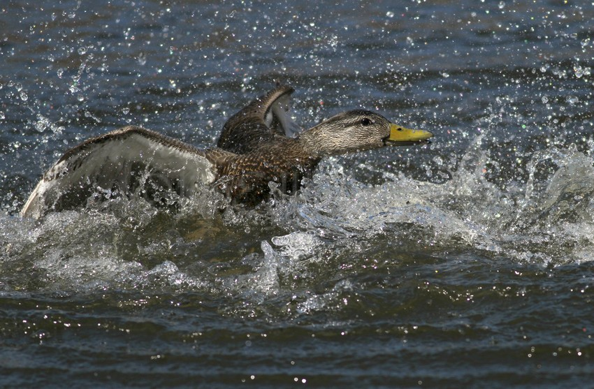 American Black Duck being chased by a Drake Mallard Duck