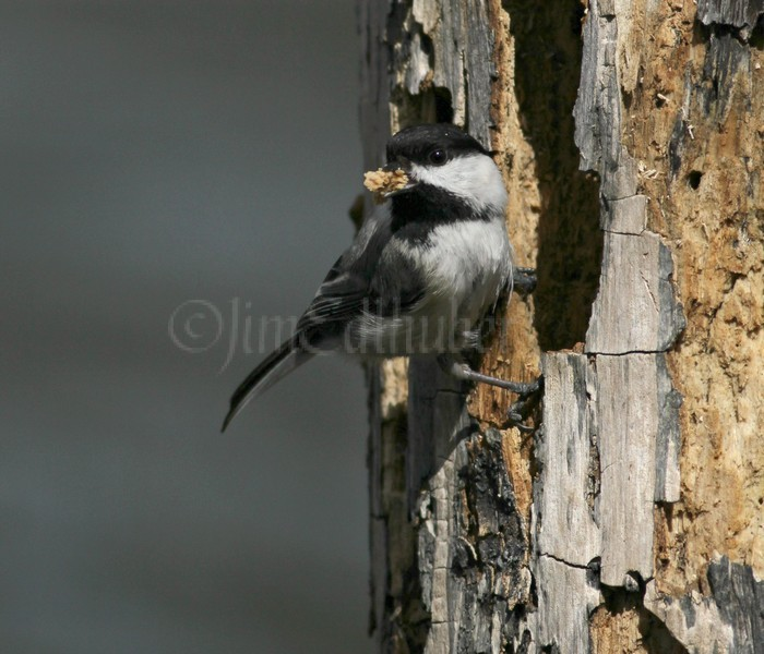 Black-capped Chickadee excavating a nest hole in a dead tree.