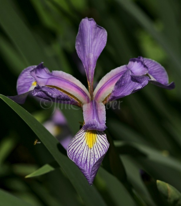 Wild Blue Flag, Iris virginica shrevei