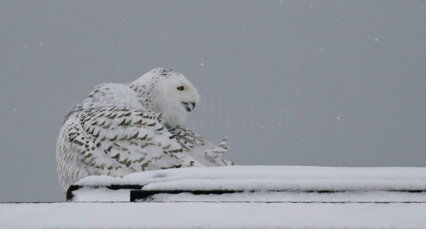 Snowy Owl coming in for a landing at the Lake Express Ferry 1-4-2015